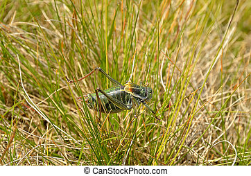 Locust in the grass