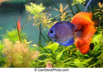 Blue and orange discus in the aquarium