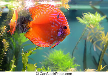 Discus fish in the aquarium - Orange discus fish in the...