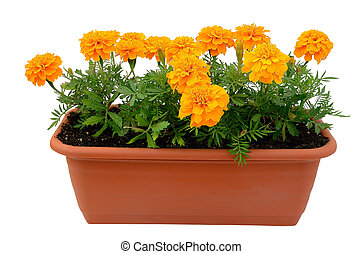 Tagetes flower seedlings in balcony flowerpot isolated on...
