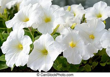White petunia - Close-up flowers of white petunias