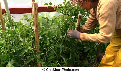 woman bind tomato branch - countrywoman hand bind large...