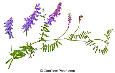 Vicia cracca flower isolated on white background