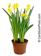 Narcissus flowers in a flowerpot