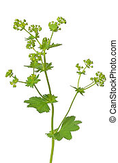 Ladys mantle herb Alchemilla mollis isolated on white...