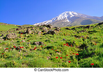 Damavand in Iran - Picturesque green meadow with poppies and...