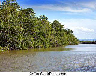 Tropical thickets mangrove forest on the Black river....