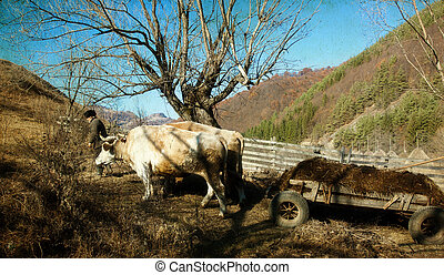 Cart pulled by bullock - rural scene - Vintage photo of cart...