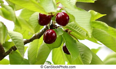 Picking Cherries 01 - Collecting cherries from the tree....