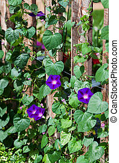 Morning Glories - A beautiful hybrid variety of morning...