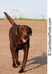 Fetch - A three year old chocolate lab playing fetch.