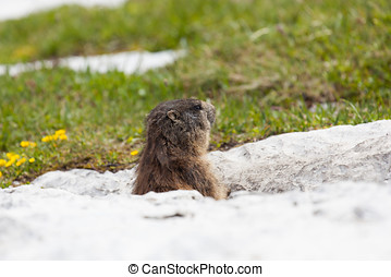 Marmot - marmot mammal that lives in the high mountains