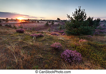 sunrise over meadows with flowering heather - summer sunrise...