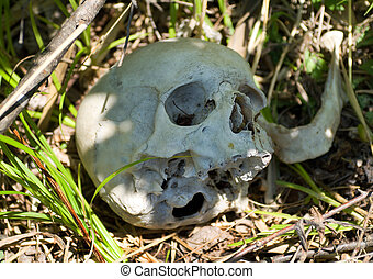 Human Skull on Grass 5 - A close up of the human skull in a...