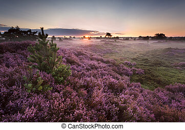 sunrise over flowering pink heather in summer