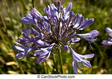 "Agapanthus the ""Lily of the Nile\"", is a genus of flower..."