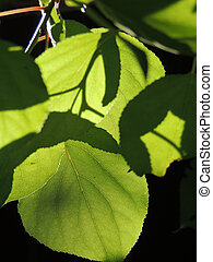 foliage of Russian Elm - foliage of Ulmus laevis or European...