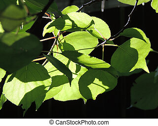 foliage of European White Elm - foliage of Ulmus laevis or...