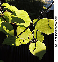 foliage of Spreading Elm - foliage of Ulmus laevis or...