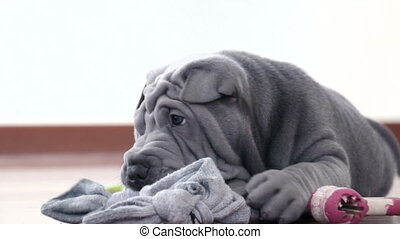 Shar Pei Pup Playing with its Rag - Shar Pei dog with a toy....
