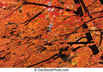 Bright Maple Fall Color - Bright Maple Tree with Autumn/Fall...
