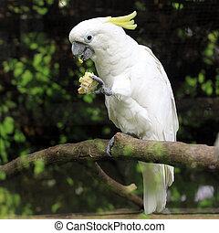 white sulphur crested cockatoo cacatua galerita