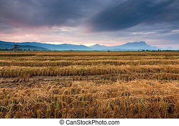 Harvested paddy field at Borneo - Harvested paddy field at...