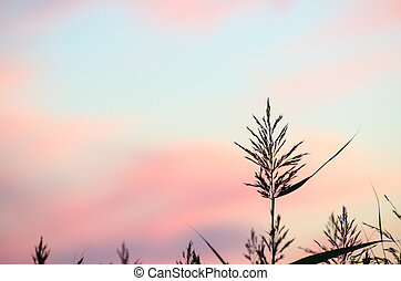 Reed flower at colored sky - Reed flower at twilight with...
