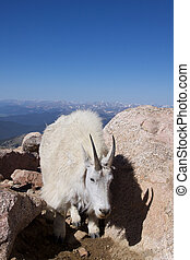 Mountain Goat in Boulders - a mountain goat wlking through a...