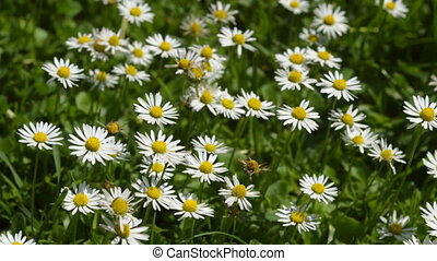 Close-up of daisies in the grass.