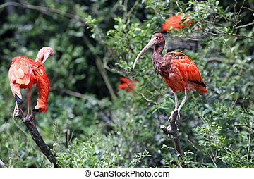 Scarlet Ibis, Eudocimus ruber - Details of a perched scarlet...