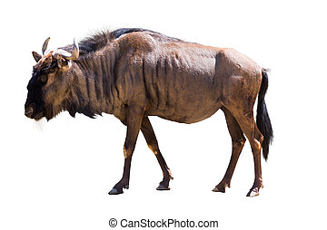 Blue wildebeest - Male blue wildebeest Isolated on white...