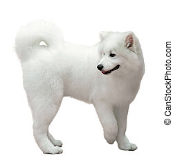 Samoyed dog on white - Samoyed dog isolated on white