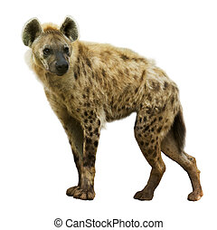 Spotted hyena Crocuta crocuta Isolated over white background...