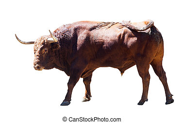 large bull, isolated over white - large bull, isolated over...
