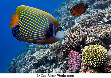 Emperor angelfish (Pomacanthus imperator) in the Red Sea,...