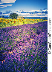 Lavender and sunflower field with tree in France, Europe