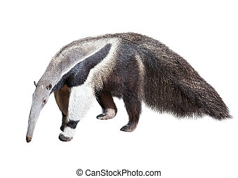 Giant anteater Myrmecophaga tridactyla Isolated over white...