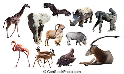 African animals - African animals. Isolated on white...