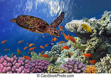 Turtle - Eretmochelys imbricata floats under water Red Sea,...
