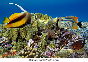 Coral reef with soft and hard corals with exotic fishes