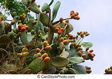 plant of opuntia ficus-indica in summer