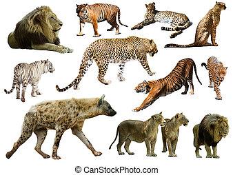 Set of hyena, leopard and other feliformia - Set of hyena,...