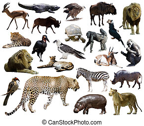 Set of leopard and other African animals Isolated over white...