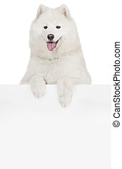 Dog above banner - Cute Samoyed dog with empty banner, space...