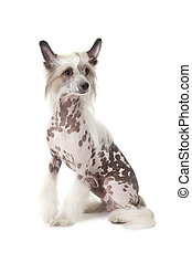 Hairless Chinese Crested dog sitting in front of white...