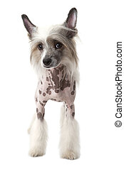 Purebred Hairless Chinese Crested dog isolated on white -...