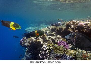 Boomtail wrasse (Cheilinus lunulatus) in Red Sea
