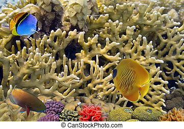 Masked Butterfly Fish and coral reeft