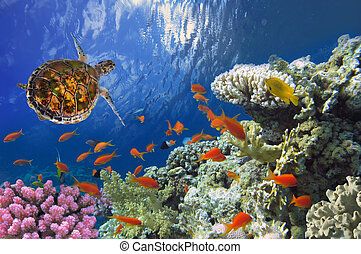 Hawksbill Sea Turtle on coral reef in the Red Sea